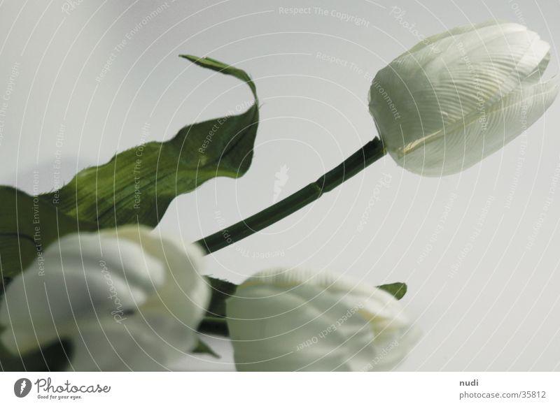 tulipe #1 weiß Blume grün nah Tulpe Tiefenschärfe gestellt