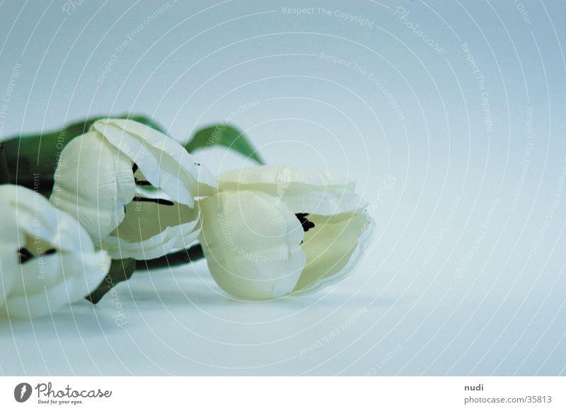 tulipe #3 weiß Blume grün Blüte nah Tulpe Tiefenschärfe gestellt