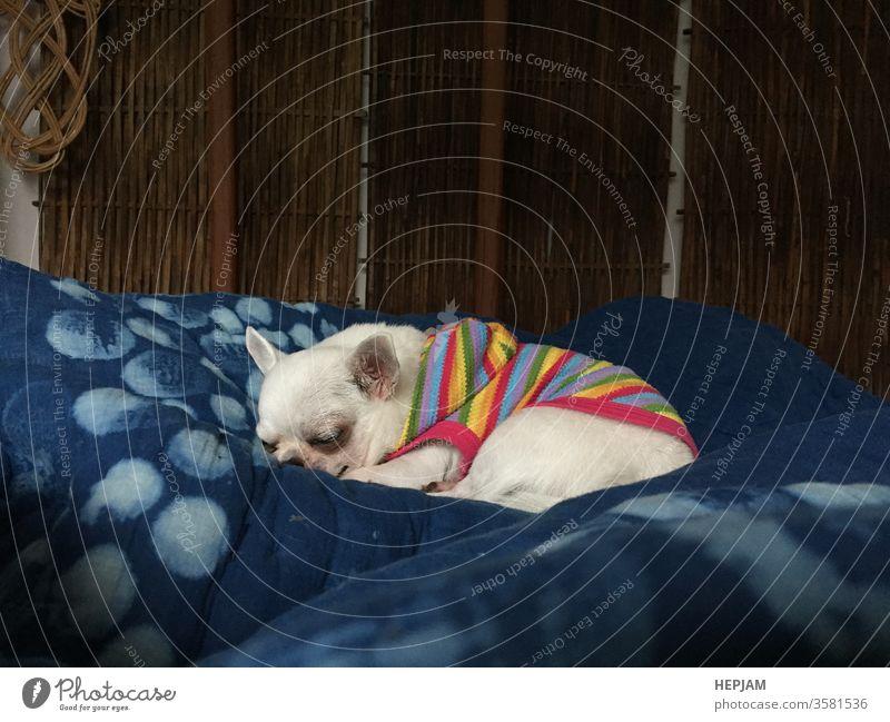 Süßer verschlafener Chihuahua-Hund schläft oder schläft auf dem Bett im Schlafzimmer bezaubernd Tier schlafend Baby Hintergrund schön Decke züchten Brummen