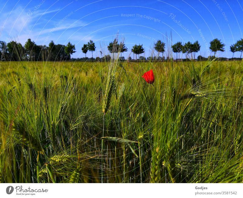 Mohnblume im Kornfeld mit Bäumen am Horizont vor blauem Himmel Natur Pflanze Blume rot Blüte Sommer Mohnblüte Menschenleer Frühling Umwelt Blühend Wiese