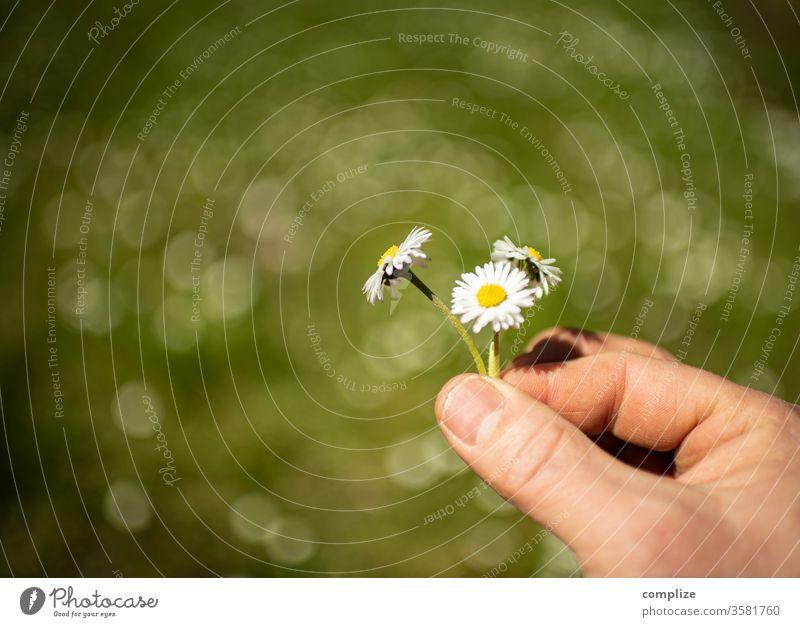 Drei Gänseblümchen in der Hand drei pflücken Blumenstrauß Blumenwiese Frühling Sonne Natur natürlich Natürlichkeit Naturschutzgebiet Wiese Garten Sommer