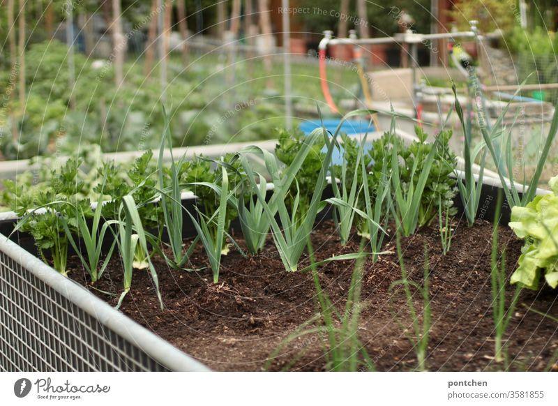 Kräuter und Salat in einem Hochbeet. Weitere Gemüsebeete im Hintergrund Gärtnern anpflanzen gärtnern kräuter salat garten gemüse nutzgarten natur grün