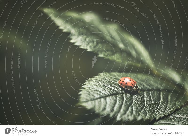 Ein roter Marienkäfer auf einem grünen Blatt marienkäfer blatt insekt matt natur fauna stumpf makro hintergrund tier pflanze nahaufnahme schmetterling farbe