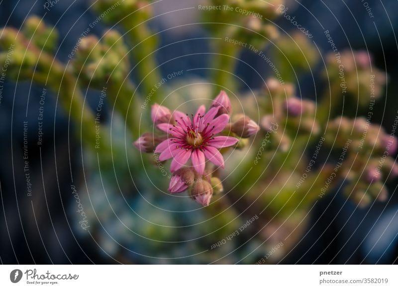 Blüte Steingarten blühen Sommer grün Natur Pflanze Blume Frühling schön natürlich Garten Nahaufnahme rosa pink