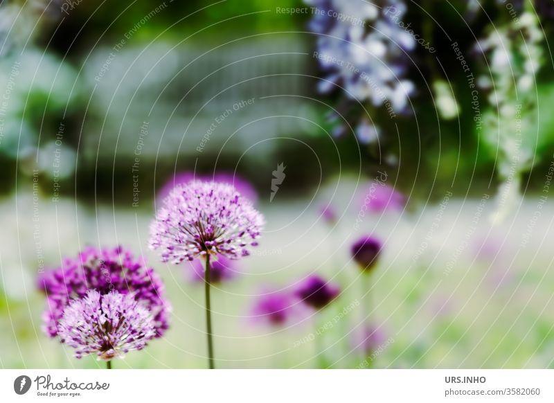 verträumte Gartenidylle | Blüten von Lila Riesen Park Natur Außenaufnahme blühend Frühling schwache Tiefenschärfe Pflanze Farbfoto