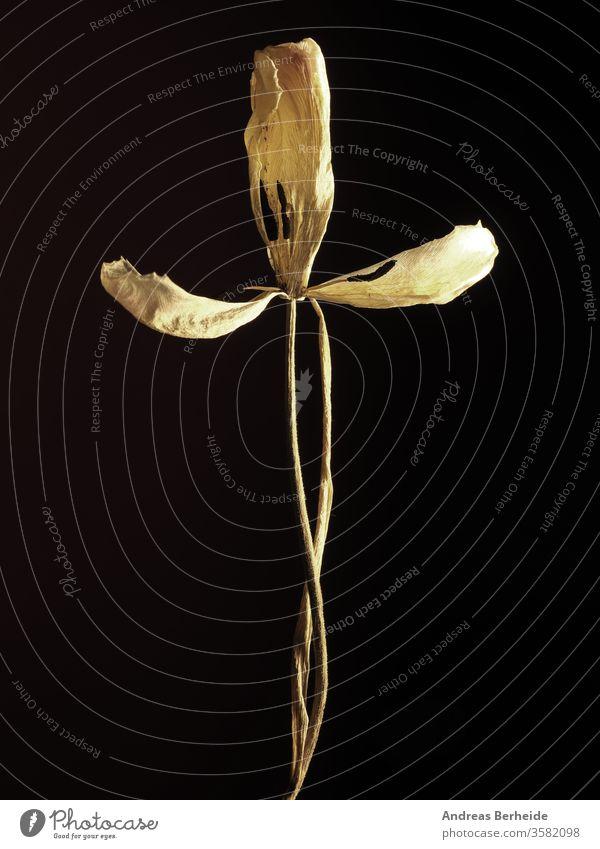 Alte verwelkte gelbe Tulpe auf dunklem Hintergrund Zerbrechlichkeit Zeit texturiert Gebrechlichkeit natürlich weg geblümt Blütenblatt Blume Leben Blatt