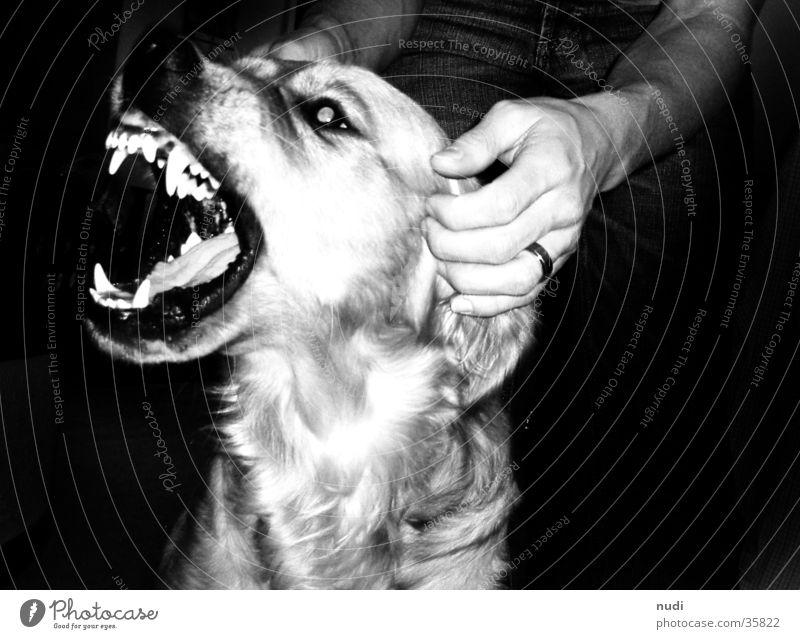 sehr böser Hund? schwarz weiß Golden Retriever Hand Nase Mund Maul Gebiss Zunge Auge Kontrast
