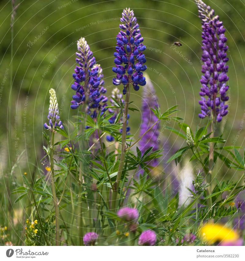 Lupinen blühen,  eine Biene fliegt umher, im Vordergrund sieht man die Blüten des roten Klees. Pflanze Flora Blume Blätter Roter Klee Natur Blühend