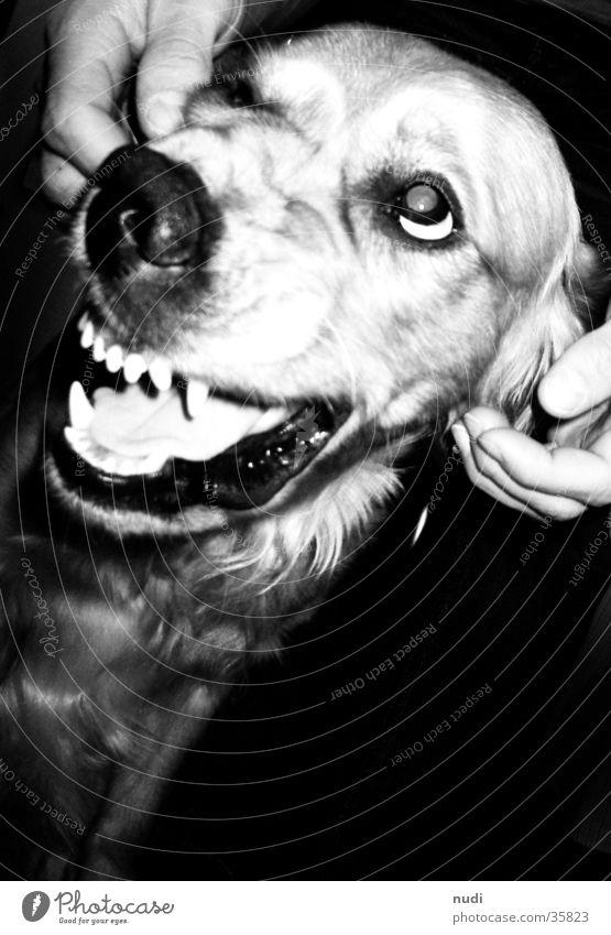 böser Hund? schwarz weiß Fell Golden Retriever Vogelperspektive Gebiss Nase Zunge Auge Kontrast