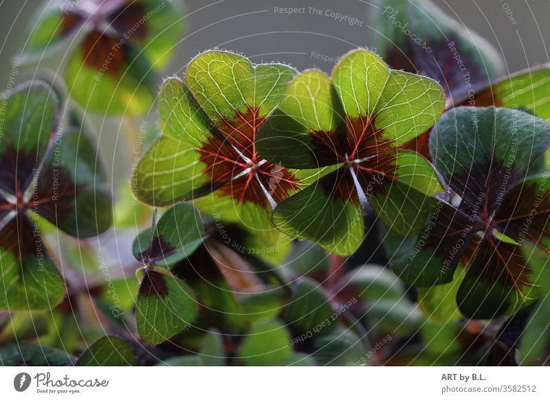Glücksklee grünes kleeblätter kleeblatt glück vier vierblättrig kleepflanze