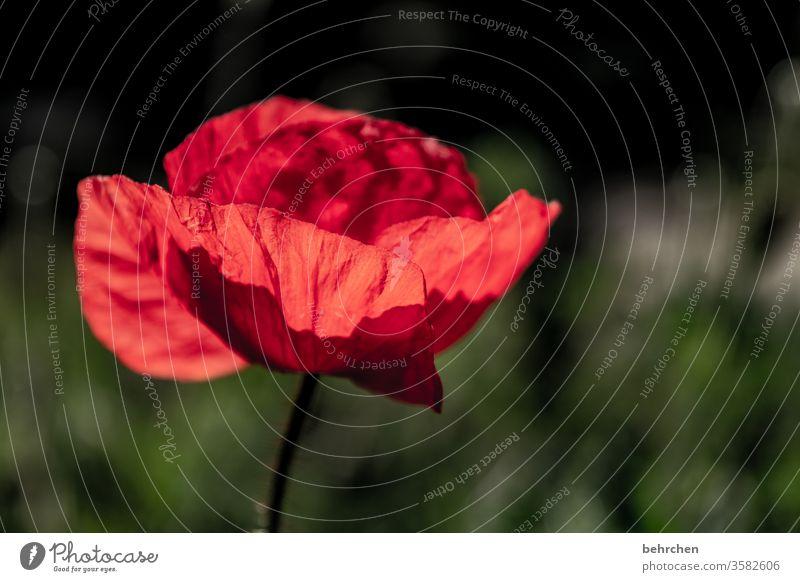 mo(h)ntagserleuchtung Nahaufnahme Wiese schön Nutzpflanze Licht Landschaft Wildpflanze Wärme Umwelt Menschenleer Blütenblatt Garten Sonnenlicht Mohn mohnblumen