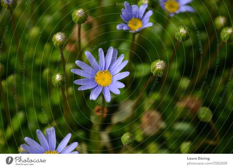 blaue kleine Margeriten Nahaufnahme Farbe farbenfroh süß fröhlich Blumen Blüten Natur Frühling Sommer Garten natürlich geblümt Farbfoto Außenaufnahme