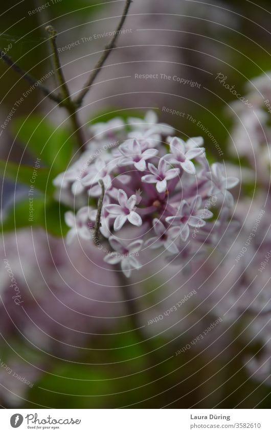 Flieder Blüten Nahaufnahme Fliederbusch Natur Blühend Garten violett Außenaufnahme Detailaufnahme Frühling Sommer Duft natürlich sein Ruhe Melancholie Gefühle