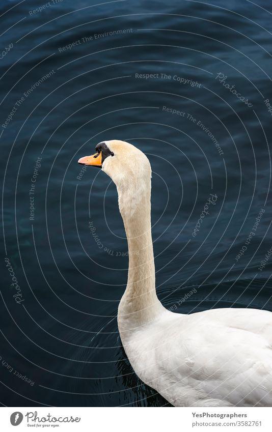 Schwan auf dunkelblauem Wasser an der Limmat. Wasservogel-Portrait 1 Fluss Limmat Schweiz Zürich Zürcher Fauna Tiere Schnabel Vögel Blauwasser Textfreiraum