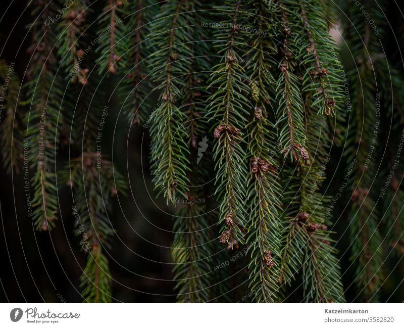 Grüne Nadeln Ast Natur Immergrün Nahaufnahme Pflanze Wald Tanne Sommer botanisch Fichte sprießen Textur Baum Blatt im Freien Garten Wachstum Detailaufnahme