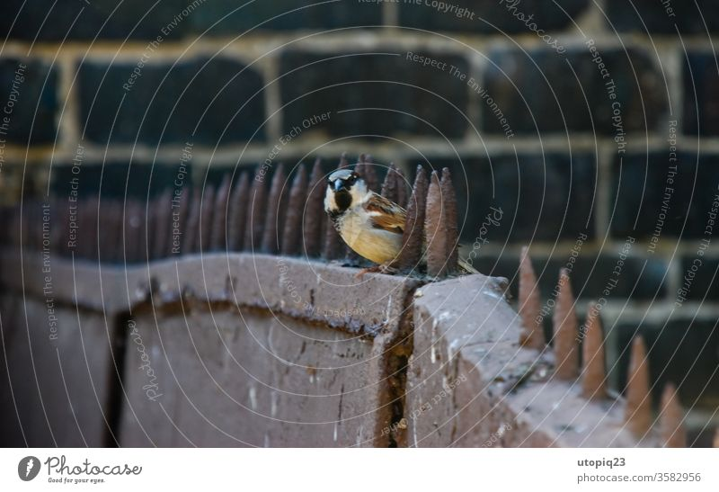 Ein kleiner Vogel auf dem Stachelzaun Freiheit grenzenlos frei Spatz Metall Grenze Stacheldraht Stacheldrahtzaun Mauer Zaun Barriere gefangen stachelig