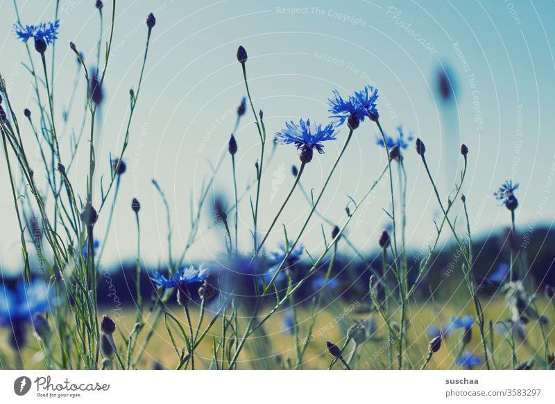 kornblumen Blumen Wiese Natur Umwelt Landschaft Kornblumen blau Pflanzen Blüte Frühling natürlich Sommer Knospen Wachstum