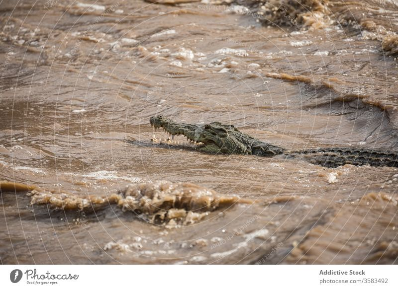 Krokodil schwimmt an einem sonnigen Tag im Fluss schwimmen dreckig reißend Wasser Alligator wild Tier strömen Mund geöffnet stechend Afrika Äthiopien