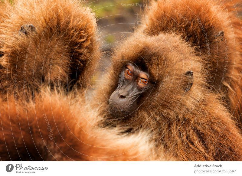 Maulkörbe von wilden Gelada-Affen Menschengruppe gelada Afrika Natur Lebensraum Fussel dicht Pavian Menge national Park Äthiopien Tier Fauna Kreatur Säugetier