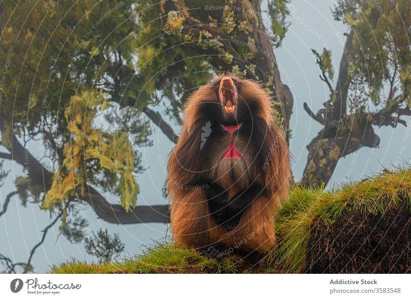 Männlicher Della-Affe gähnt unter einem Baum im Wald gelada Pavian schreien Holz gähnen Afrika wild Tier Fauna Schreien Sie Äthiopien Kreatur Säugetier
