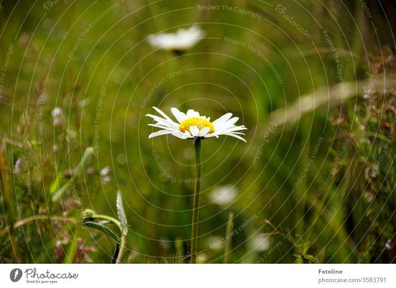 Margaritten in unserem Garten umgeben von saftigen hohen Gräsern. Blume Wiesenblumen Wildblume Gras Natur grün Pflanze Sommer Blüte weiß Nahaufnahme
