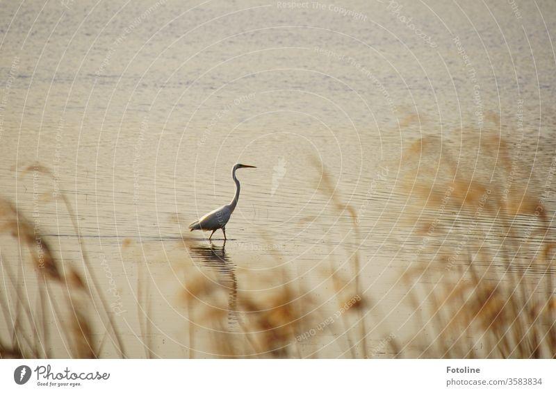 Auf der Pirsch - oder im Naturschutzgebiet Ilkerbruch ist ein Silberreiher auf der Jagd nach einem leckeren Fisch Reiher Vogel Tier Farbfoto Außenaufnahme