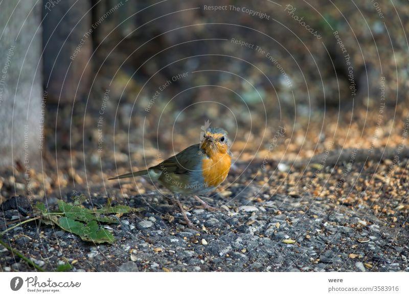 Robin sitzt vor einem Lattenzaun auf dem Boden und sucht nach Nahrung Erithacus rubecula Rotkehlchen Wintervogel Tier Vogel Textfreiraum Federn Fliege