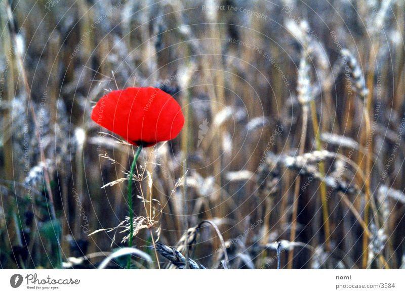 Mohnblüte rot Feld Blüte Blume Gegenteil Getreide Kontrast Natur