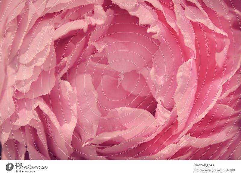 Rosa Blüte einer Pfingstrose Nahaufnahme schön Makrofotografie Duftpflanze elegant Floristik Romantik Stimmung Pflanze Blühend Frühling Detailaufnahme Blume