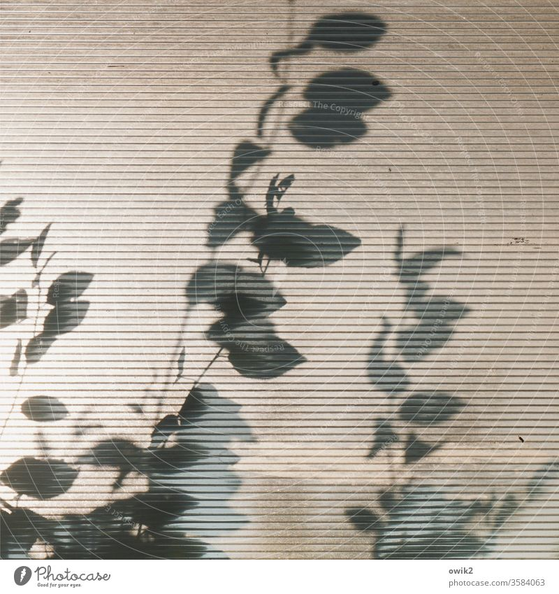 Anschaulich Glas Barriere Sichtschutz Lichterscheinung Zweige Blätter Pflanze Schatten Detailaufnahme Farbfoto Außenaufnahme Menschenleer Tag Sonnenlicht