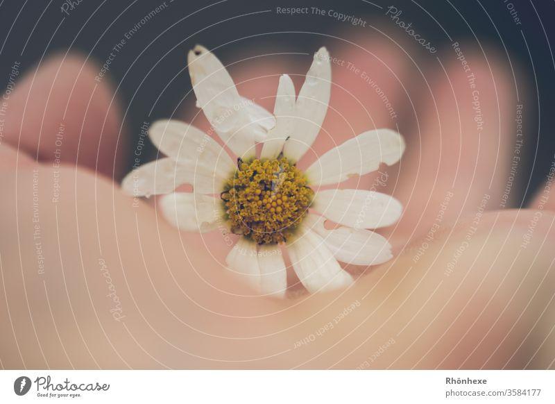 Ein zartes Blümchen in der Hand Blume halten Magaritten Natur Naturliebe Pflanze Blüte Makroaufnahme Farbfoto Detailaufnahme Schwache Tiefenschärfe Tag