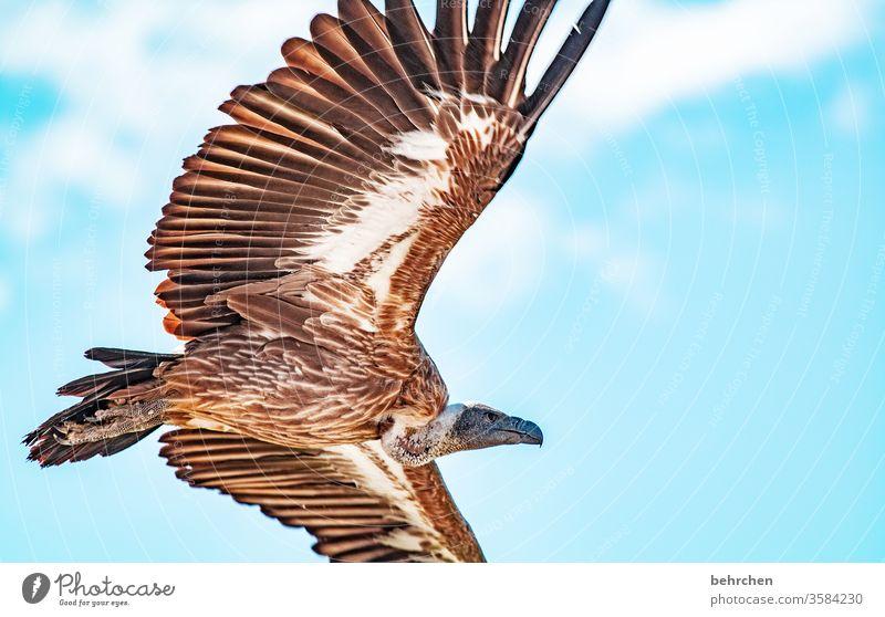 geier sturzflug Blauer Himmel beeindruckend Luft hoch oben außergewöhnlich Tier Wildtier Kontrast Licht Außenaufnahme Farbfoto fantastisch Freiheit besonders