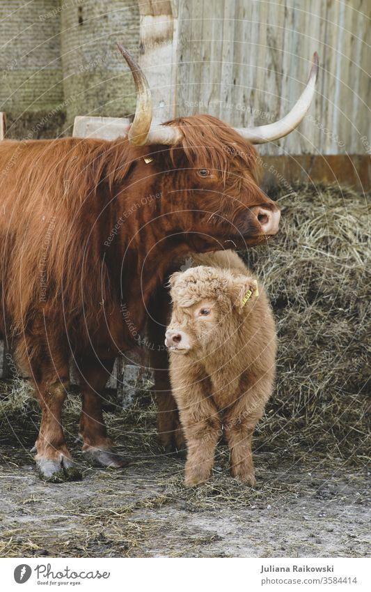 süßes Hochlandrind Kalb mit Mutter Schottisches Hochlandrind Tier Kuh Nutztier Außenaufnahme braun Rind Horn Tierporträt Fell Natur Baby kuschlig Schnauze