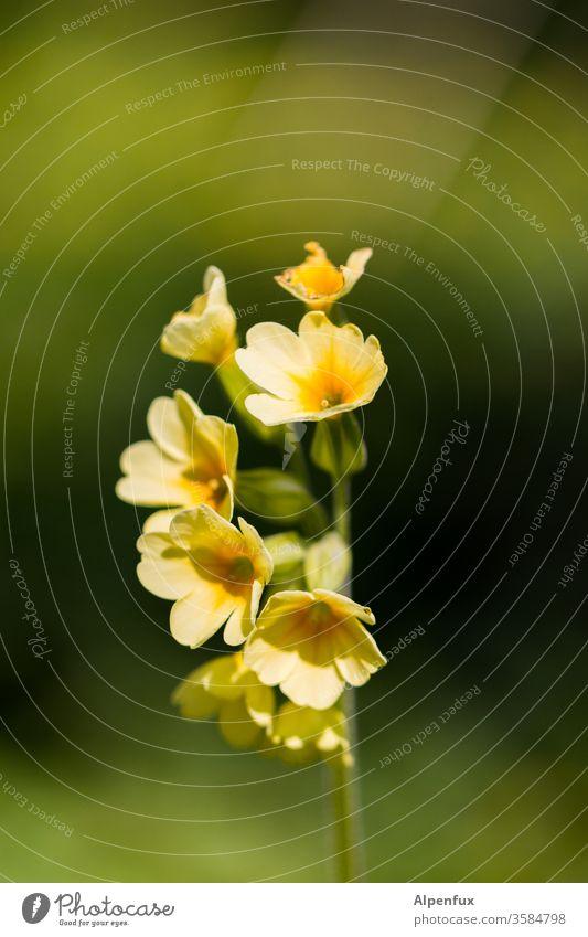 gelber Mohn (yellowea submarinii) Blume Blüte Pflanze grün Natur Frühling Blühend Menschenleer Farbfoto Blatt Sommer Nahaufnahme Außenaufnahme Garten Tag