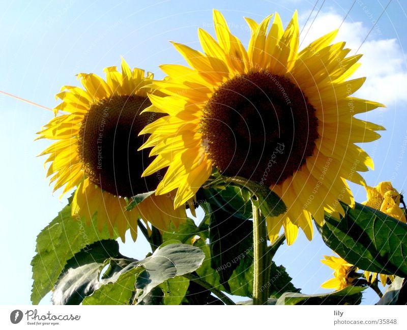 im Duo strahlen Blume Sonnenblume gelb Blatt grün 2 unzertrennlich Sommer Himmel blau Beleuchtung paarweise
