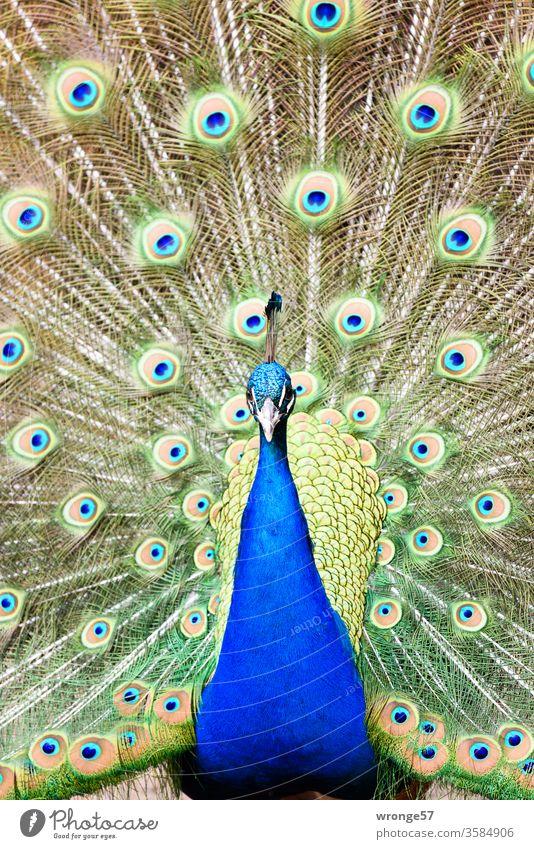 Blauer Pfau mit ausgebreiteter Federkrone vogel Pfauenhahn balzen Nahaufnahme Tierpark Zoo Park Stufe Lebewesen Außenaufnahme Tag Frontalaufnahme