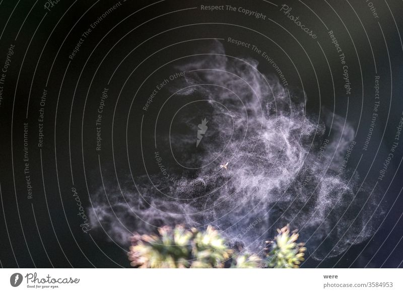 Pollen löst sich von einem Grashalm blüht Kraut Allergie Bienenpollen Überstrahlung Textfreiraum Krankheit Blumen Grasblüte Gräserpollen Heuschnupfen Histamin