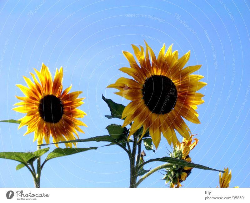 together forever Sonnenblume Blume rot gelb grün Zusammensein unzertrennlich Sommer Blauer Himmel Beleuchtung paarweise