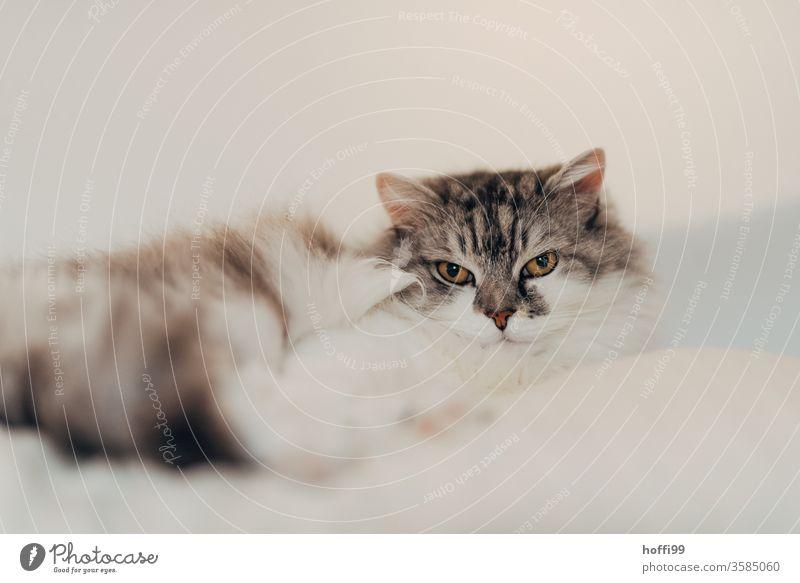 das weiche Fell der Katze verschmilzt mit der Umgebung - er will nicht ma spielen ... Hauskatze Haustier Tierporträt Tiergesicht Katzenauge Blick in die Kamera