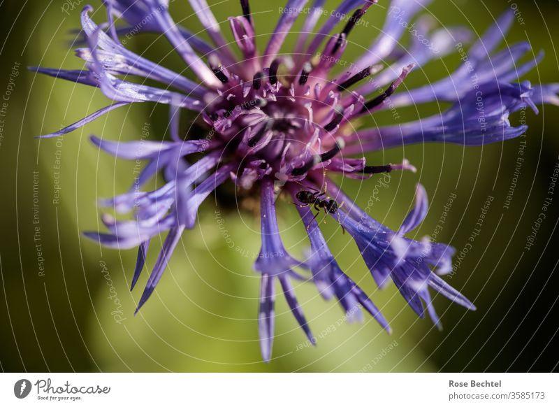 Ameise auf Bergflockenblume Centaurea montana Berg-Flockenblume Cyranus Makroaufnahme Nahaufnahme Tier Insekt Natur Farbfoto krabbeln Außenaufnahme klein