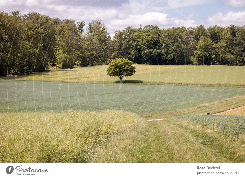 Solitärbaum Baum Feld Felder Landschaft wiesen Grasweg Außenaufnahme Menschenleer grün Sommer Natur Farbfoto Wolken Tag Landwirtschaft Wald Wiese bewölkt Umwelt