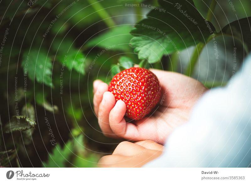 ein kleines Kind pflückt eine saftige rote Erdbeere aus dem Garten Erdbeerzeit Frucht Leckerbissen schön Beerenfrucht obstsorten ertrag ertragreich Sammler