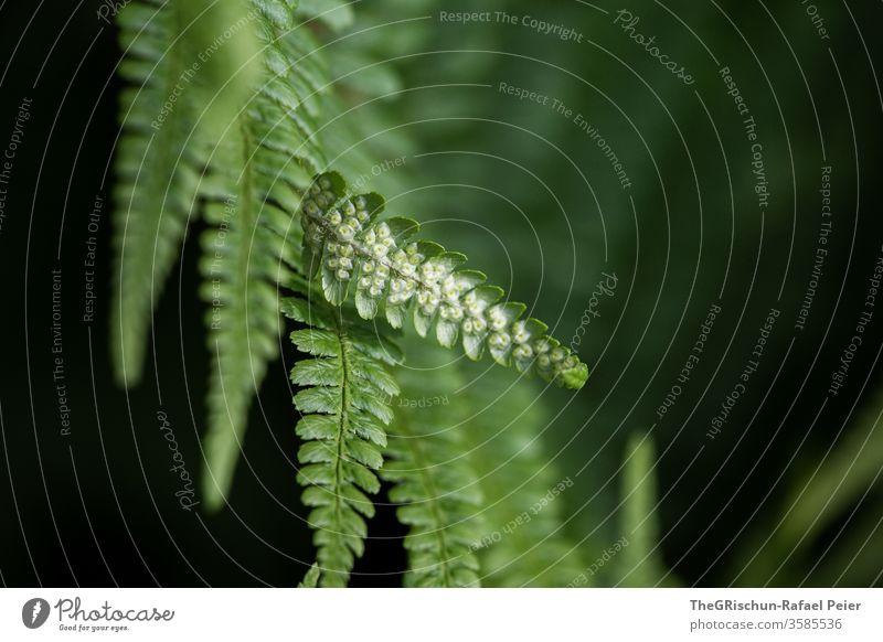 grüner Farn vor schwarzem Hintergrund Natur Pflanze Farbfoto Grünpflanze Tag Blatt Wachstum natürlich Nahaufnahme Schwache Tiefenschärfe Muster struktur