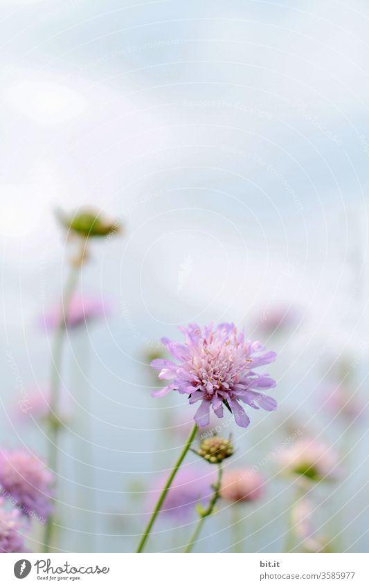 Ihre Liebe zum tapfernen Schneiderlein, verstand das Nähkisselchen erst nachdem es seinen wahren Namen erfuhr. Blume Wiese Witwenblume Acker Feld Wiesenblume