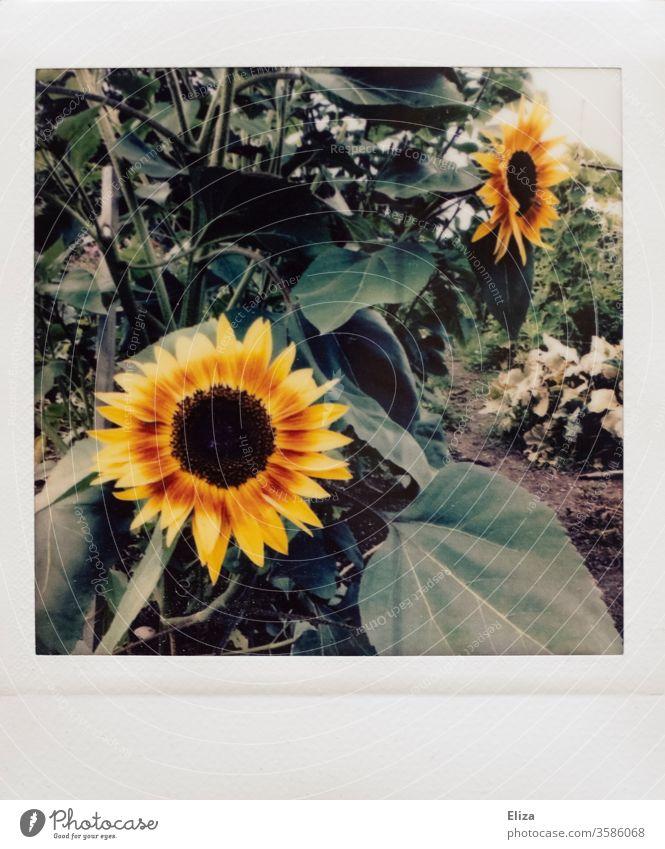 Polaroid mit Sonnenblumen im Garten analog schön retro vintage Natur gelb Pflanze Blume