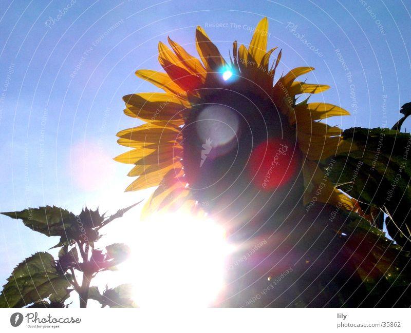 Strahlen um die Wette Sonne Blume Sommer Sonnenblume Blauer Himmel