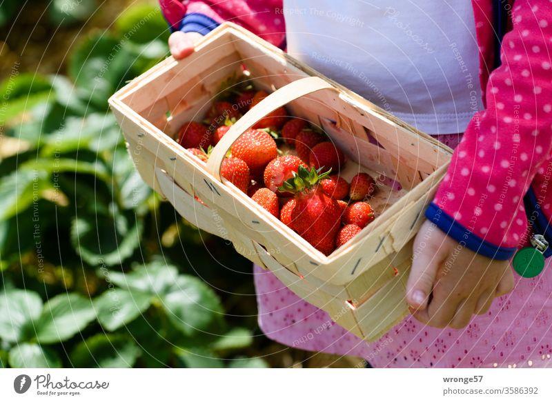 Kind zeigt einen Korb mit frisch geernteten Erdbeeren Mädchen Spankorb Erdbeerfeld Erdbeerernte Sommer Frucht rot reif Außenaufnahme Gesundheit lecker Feld