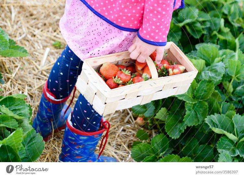 Kind steht mit einem Spankorb frischen Erdbeeren auf einem Erdbeerfeld Mädchen Korb Erdbeerernte Sommer Frucht rot reif Außenaufnahme Gesundheit lecker Feld