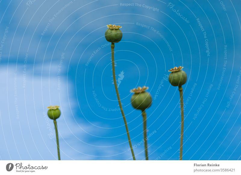 vier Mohnkapseln vor blauem Himmel Süchtige Sucht landwirtschaftlich Ackerbau Herbst backen Bäckerei botanisch Botanik braun Kapsel Nahaufnahme Kodein
