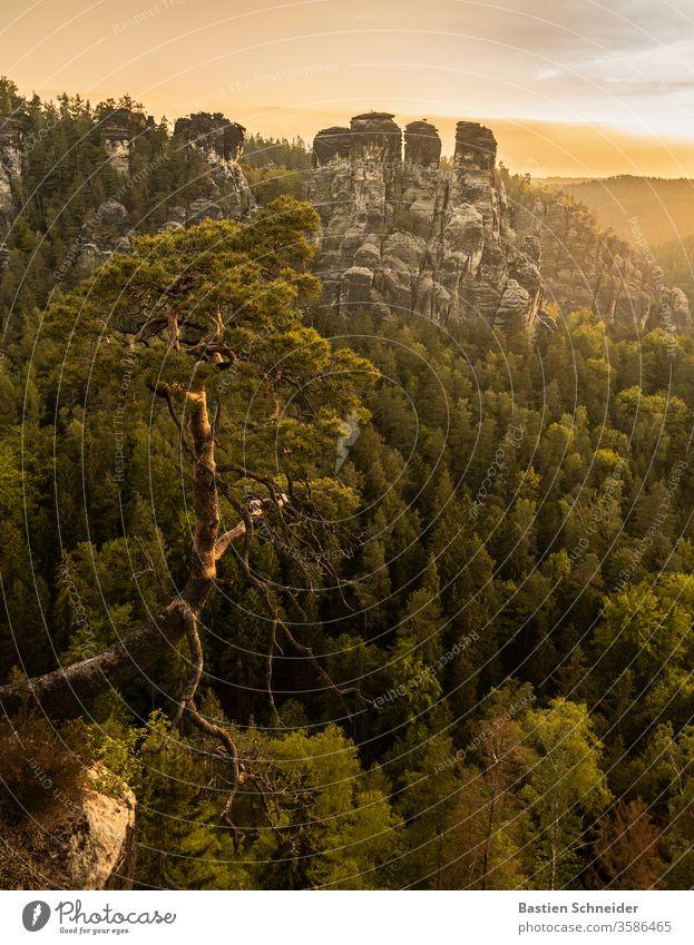 Die berühmte Kiefer bei der Bastei im Elbsandsteingebirge Landschaft Felsen Wald Berge u. Gebirge Sommer Deutschland schön wandern Schatten Europa Ausflug